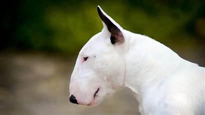 Bull Terrier Como Ebkc Dog Bullterrier Puro