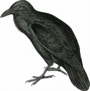 Free Realistic Raven Clip Art