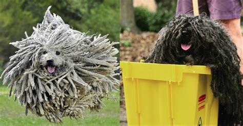 puli der hund der aussieht wie ein wischmopp