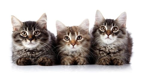 what of cat are you ceva expands distribution of catego for cats news