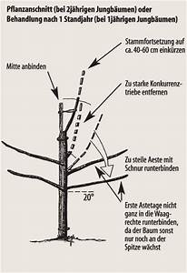 Apfelbaum Schneiden Anleitung : weinreben schneiden wann weinreben schneiden anleitungen f r eine reiche ernte pflanzen ~ Eleganceandgraceweddings.com Haus und Dekorationen