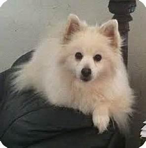 SYDNEY | Adopted Dog | Minnetonka, MN | American Eskimo ...