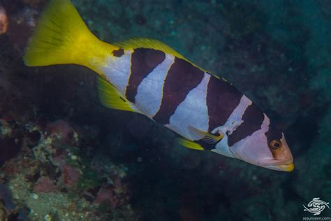 grouper coral saddled seaunseen aquariums photographs facts plectropomus laevis