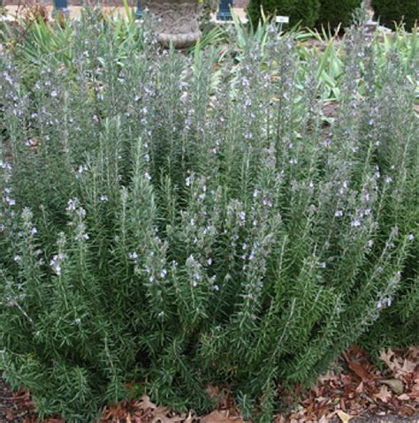 rosemary plant care rosemary essential oils for health and wellness totally tan