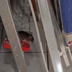 fressen marder ratten kastein apex sch 228 dlingsbek 228 mpfung m 228 use bek 228 mpfen