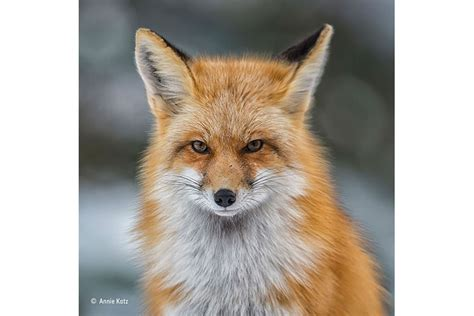 wildlife photographer   year foxes  focus