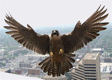 peregrine falcons diving   appalachia
