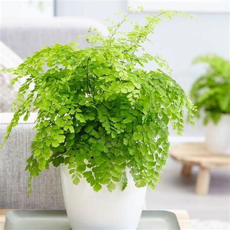 kitchen compost buy maidenhair fern fragrans adiantum raddianum