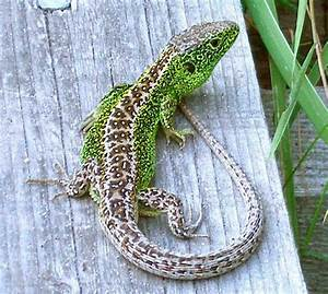 Lacerta Agilis  Sand Lizard  Identification Guide