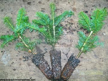 noble fir transplants tree growers