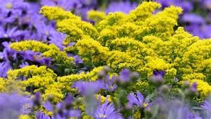 Gelbe Winterharte Pflanzen : herbststauden pflanzen und pflegen ratgeber garten ~ Markanthonyermac.com Haus und Dekorationen