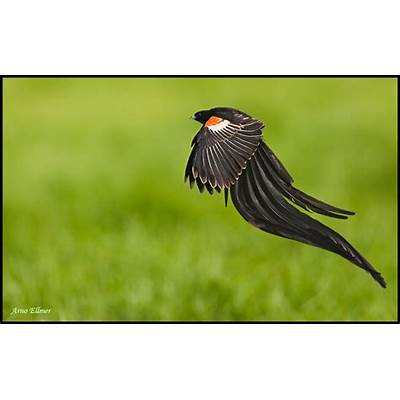 Long-tailed Widowbird - OutdoorPhoto Gallery