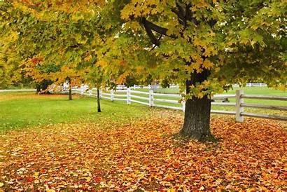 Maple Trees Fall Autumn Landscape Tree Grow