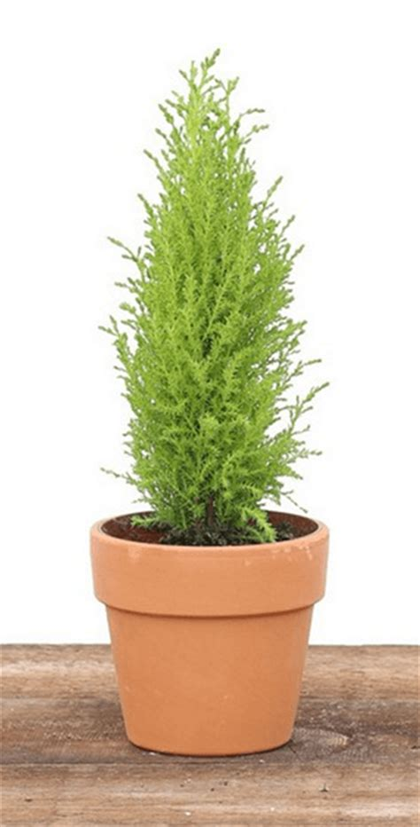 topiary trees live 1 25 lb cone cypress topiary plant live cypress topiary