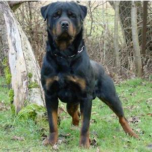 officially certified trained rottweilers for sale With rottweiler guard dog training