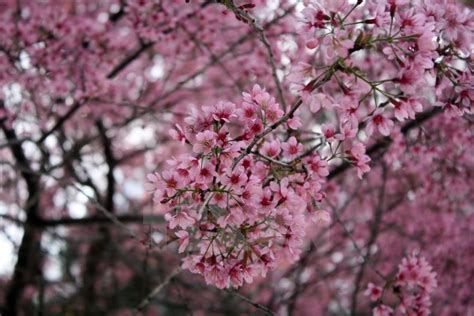 cherry blossoms lure tourists  da lat news vietnamnet