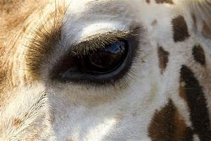 Giraffe Eye Photograph by Carrie Cranwill