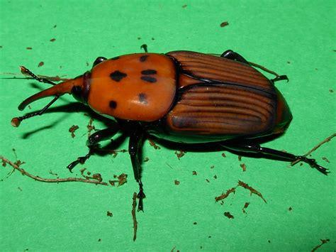 http://commons.wikimedia.org/wiki/File:Rhynchophorus_ferrugineus_(femmina).jpg