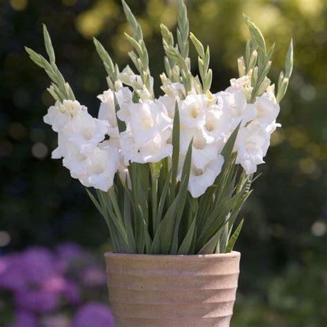 gladiolus gladiolus large flowering from bulbs to blooms