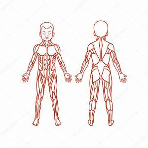 Clipart  Muscle System