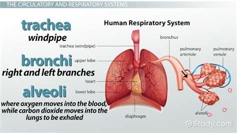 Human Respiratory System Definition Fosfecom