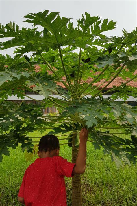 mewarnai gambar pohon pepaya