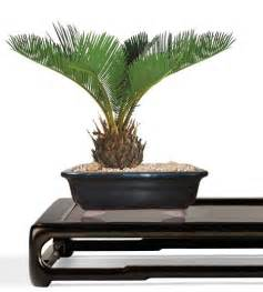 buy bonsai trees sago bonsai tree small bonsai cycas revoluta sago bonsai the bonsai store