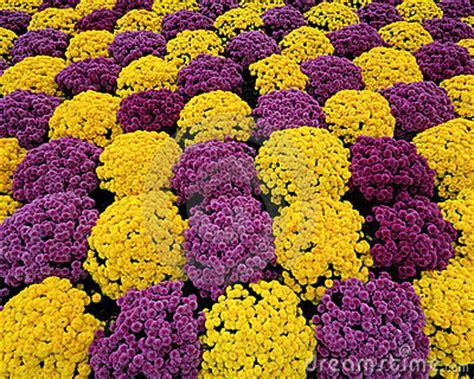 yellow and purple purple yellow mums stock photography image 16711542