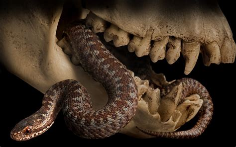Animal Skull Wallpaper - skulls animals wallpaper 1280x800 wallpoper 411546