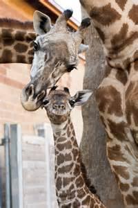Houston Zoo Baby Giraffe