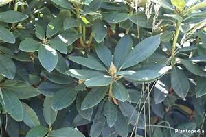Stickstoffmangel Bei Pflanzen : rhododendron pflanzen pflege d ngen und schneiden ~ Lizthompson.info Haus und Dekorationen