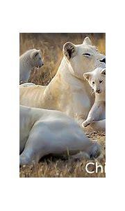 Global White Lion Trust   Wild animals pictures, White ...