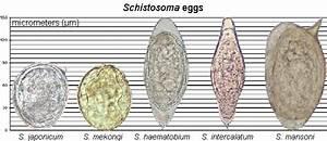 Schistosoma - Blood Flukes