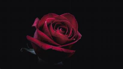 8k Oled Rose Wallpapers Resolution 4k Dark