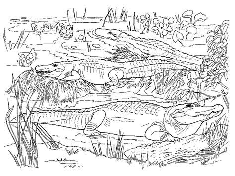 realistic coloring pages  adults realistic alligator