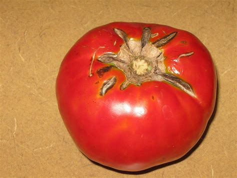 https://www.walterreeves.com/gardening-q-and-a/tomato-cracking-fruit-2/