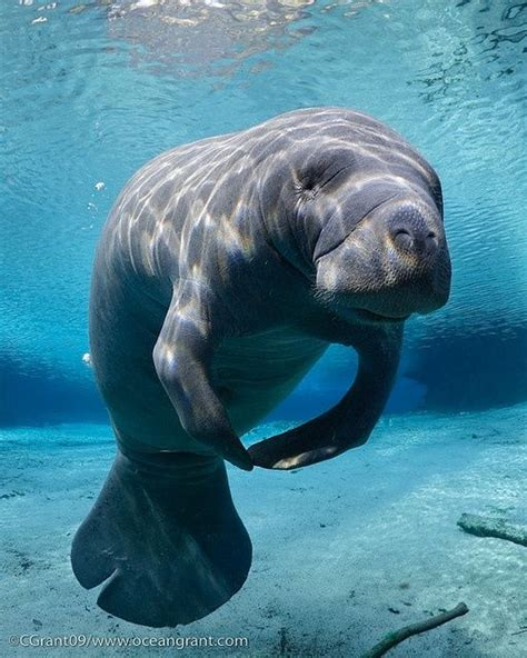 Manatees Are Dope Indeed Indeed Peace Manatee
