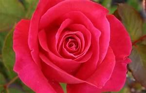 Comment Faire Une Rose En Papier Facilement : comment dessiner une rose ~ Nature-et-papiers.com Idées de Décoration