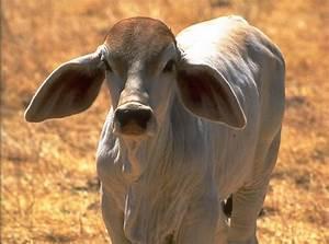 17 Best images about Brahman on Pinterest | Zebu cattle ...