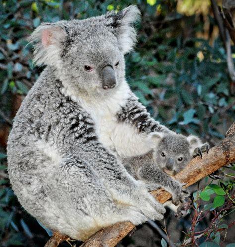 treetop koala nuzzling zooborns