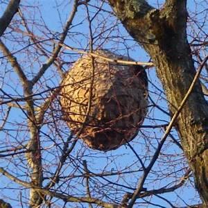 Comment Repérer Un Nid De Frelon : prise en charge de la destruction des nids de frelons ~ Melissatoandfro.com Idées de Décoration