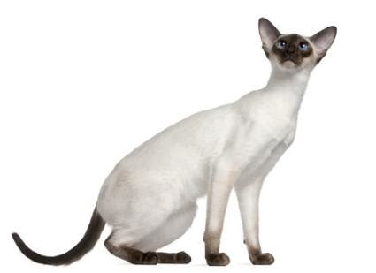 modern cat siamese cats lovetoknow