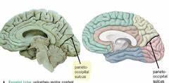 Cranial Cavity, Meninges, & Cerebral Blood Supply ...