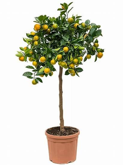 Calamondin Citrofortunella Citrus Nieuwkoop Europe Code