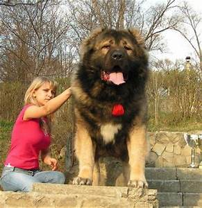 12 best Gigantic Russian Bear Dog images on Pinterest ...