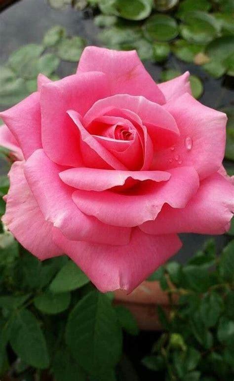 สวยหวาน | ดอกไม้, กุหลาบสีชมพู, ดอกกุหลาบ