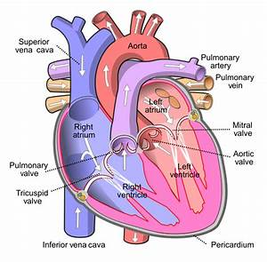 File Diagram Of The Human Heart  Cropped  Svg