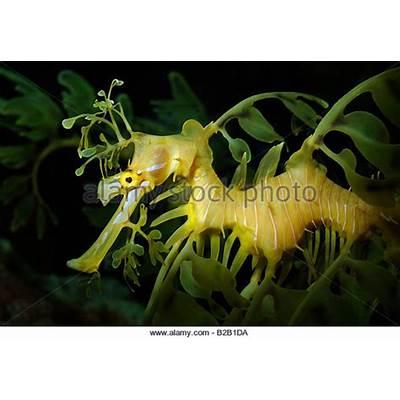 Leafy Sea Dragon Stock Photos &