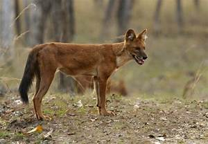 Indian Wild Dog Related Keywords - Indian Wild Dog Long ...