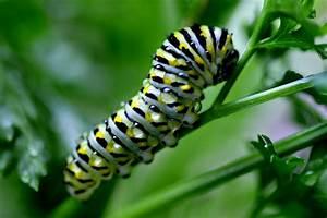 Appalachian Journal   The Life Of A Black Swallowtail Caterpillar